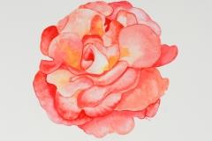 027 - Die Rose...