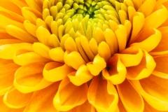Chrysant, Chrysanthemum