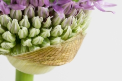 Sierui, Allium