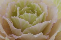 Sierkool, Brassica