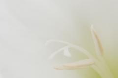 Gladiool, Gladiolus