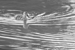 Wilde eend, Anas platyrhynchos