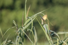 Fitis, Phylloscopus Trochilus
