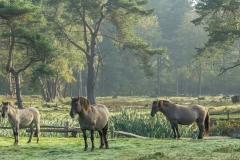 Konik, Equus caballus var. konik