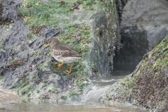 Paarse strandloper, Calidris maritima