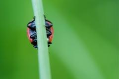 Zevenstippelig lieveheersbeestje, Coccinella septempunctata
