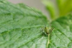 Struiksprinkhaan, Leptophyes punctatissima