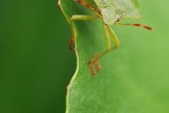 Groene stinkwants, Palomena prasina