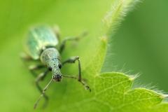 Groene snuitkever, Phyllobius argentatus