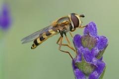 Zweefvlieg, Syrphidae