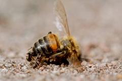 Mieren met Blinde (en dode) bij