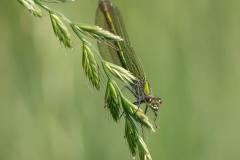 Weidebeekjuffer (vrouwtje), Calopteryx splendens