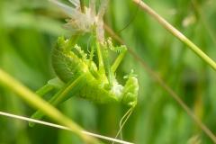 Grote groene sabelsprinkhaan,Tettigonia viridissima