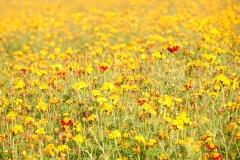 Bloemenveld