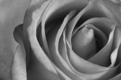 Roos, Rosea