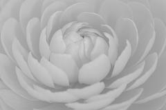 Ranonkel, Ranunculus