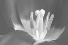 Tulp, Tulipa