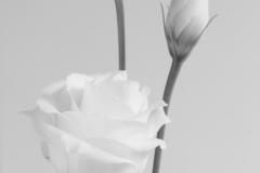 Lisianthus, Eustoma russellianum