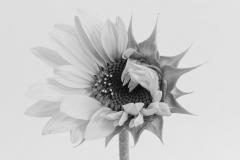 Zonnebloem, Helianthus annuus